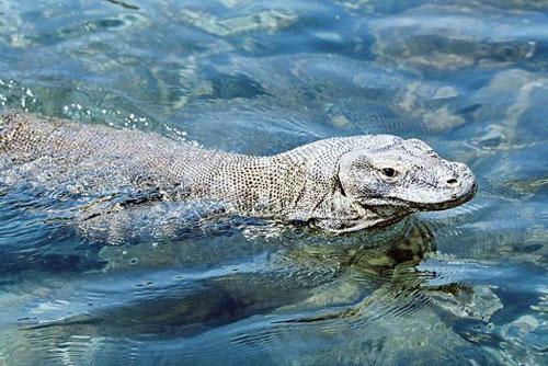 1. Dù nặng hơn 90kg và dài hơn 3m, nhưng rồng Komodo là bậc thầy trong bơi lội khi có thể bơi từ đảo này sang đảo khác kiếm thức ăn.