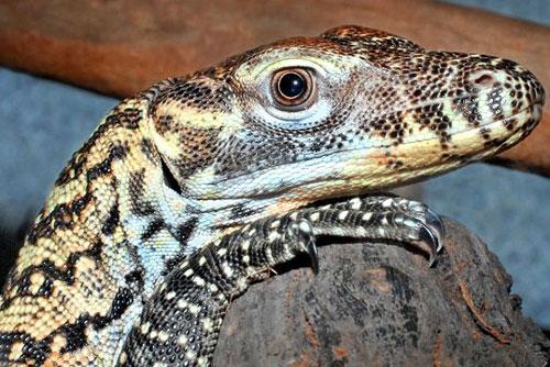 5. Để trốn thoát khỏi kẻ thù, rồng Komodo con thường lăn qua phân của mình hoặc trèo lên cây.