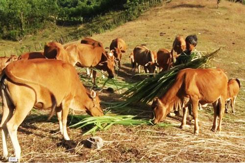 Nuôi bò thịt, giải pháp thoát nghèo cho người thiểu số ở Quảng Bình