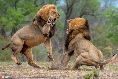 CLIP: Top 10 trận chiến kinh hoàng của động vật mới nhất