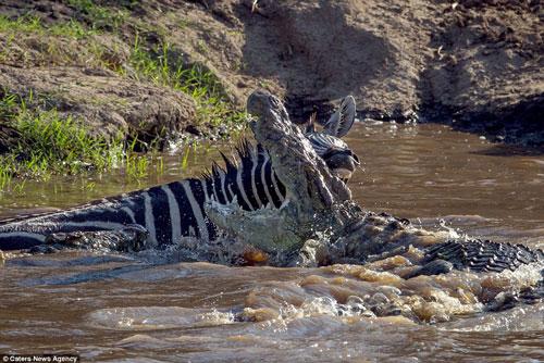 """Cá sấu mất mặt khi bị ngựa vằn cho """"ngửi khói"""""""