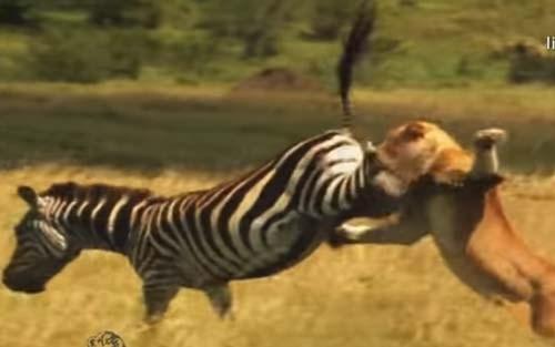 """CLIP: Ngựa vằn tung """"liên hoàn cước"""" về phía sư tử"""