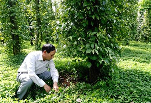 Trồng tiêu sạch mang lại lợi ích môi trường