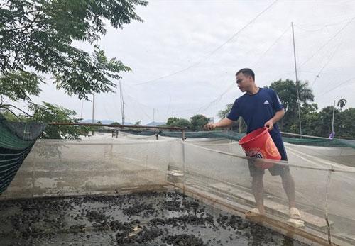 Anh Tạ Văn Luận chăm sóc đàn ếch thương phẩm.