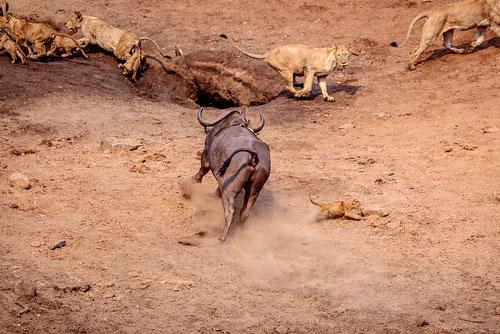 Sau đó, con trâu rừng cũng không muốn tấn công chú sư tử con nữa vì các con sư tử trưởng thành khác đã cảnh giác.