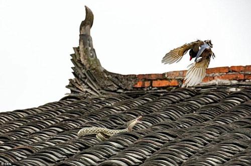 Kịch chiến giữa chim giẻ cùi và rắn trên nóc nhà