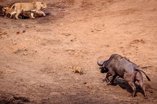 Khi đang tham quan Vườn quốc gia Kruger ở Nam Phi, nhiếp ảnh gia động vật hoang dã Johan Adolf Smalman tình cờ ghi lại được một khoảnh khắc cực hiếm trong thiên nhiên hoang dã. Đó chính là cảnh sư tử con thoát chết thần kỳ trước móng của trâu rừng đực trưởng thành.