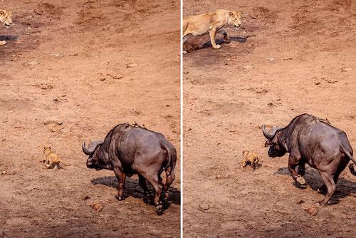 Cụ thể, do đi quá xa mẹ nên chú sư tử con đã bị con trâu rừng đực trưởng thành tấn công.