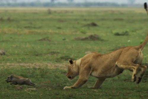 Heo rừng mẹ bất lực nhìn sư tử tàn sát đàn con