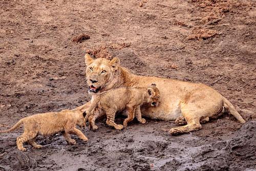 Đây chắc chắn sẽ là bài học khó quên đối với chú sư tử con.