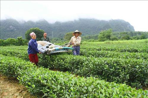 Vùng trồng chè tại xã Yên Khê (Con Cuông, Nghệ An). Ảnh: Tá Chuyên - TTXVN