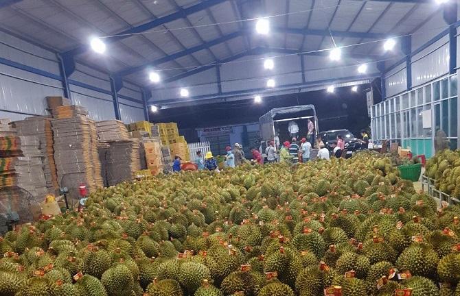 Sầu riêng được một doanh nghiệp tại huyện Bảo Lâm (Lâm Đồng) thu mua về để xuất khẩu (Ảnh: TL).