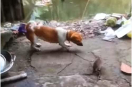 """CLIP: Chuột nổi điên """"tẩn"""" luôn cả chó và mèo"""