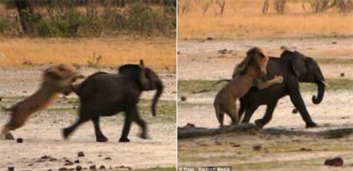 Kinh hoàng sư tử đói truy sát voi con - 2