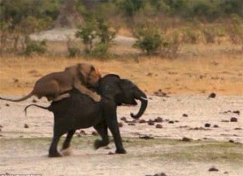 Kinh hoàng sư tử đói truy sát voi con - 3