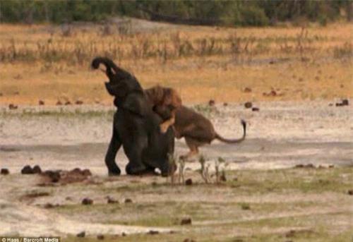 Kinh hoàng sư tử đói truy sát voi con - 4