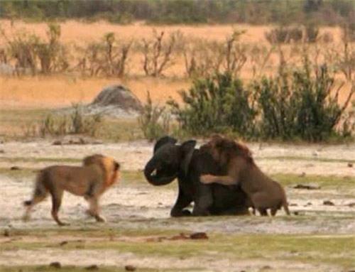Kinh hoàng sư tử đói truy sát voi con - 5