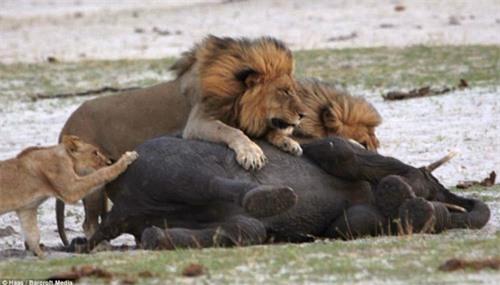 Kinh hoàng sư tử đói truy sát voi con - 7