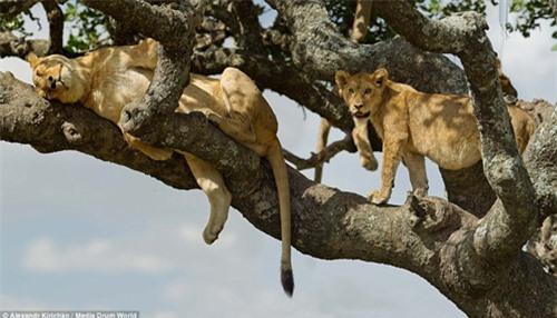Tránh nắng nóng kiểu sư tử châu Phi - 2