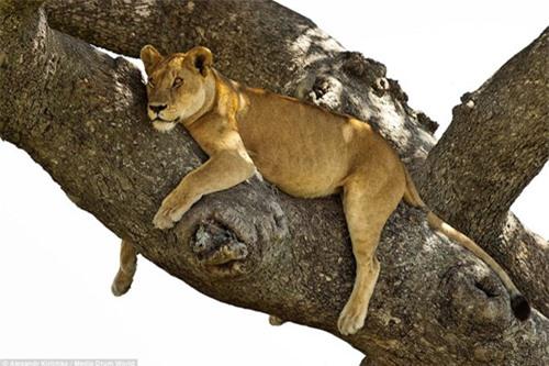 Tránh nắng nóng kiểu sư tử châu Phi - 3
