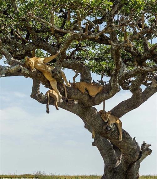 Tránh nắng nóng kiểu sư tử châu Phi - 4