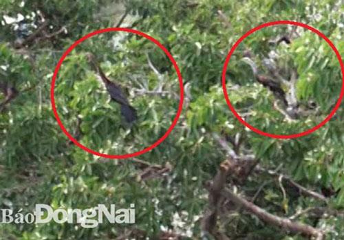 Một đàn chim cổ rắn khoảng 500 cá thể vừa được phát hiện tại khu du lịch Bửu Long, TP Biên Hòa, Đồng Nai. Đây là lần đầu phát hiện đàn chim cổ rắn với số lượng lớn bay về Đồng Nai, có thể chúng về kiếm ăn và ở lại. Lực lượng kiểm lâm đang phối hợp chặt chẽ với các đơn vị liên quan theo dõi biến động của đàn chim. Trước mắt họ bảo vệ và tăng cường thức ăn cho chúng.