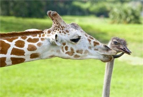 Những tình bạn 'khó tin' trong vương quốc động vật
