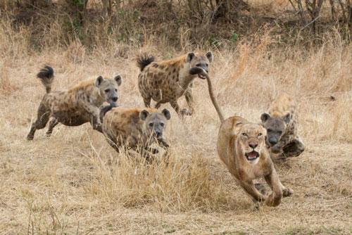 """Sư tử bỏ chạy """"trối chết"""" vì bị bầy linh cẩu tấn công."""