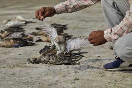 Những ngày gần đây, sự kiện   hàng ngàn con chim đột nhiên chết vô cùng bí ẩn ở khu vực hồ nước mặn Sambhar, ở bang Rajasthan, miền bắc Ấn Độ gây xôn xao dư luận.
