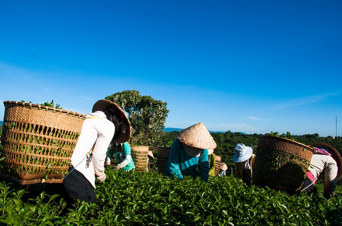"""Hội thi """"Bàn tay vàng – Búp chè non"""" nhằm động viên khen thưởng kịp thời những người hái trà giỏi, tay nghề cao (Ảnh: TL)"""