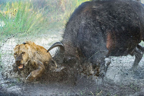 Sau khi ngã xuống vũng bùn, con sư tử đen đủi này còn bị trâu rừng tấn công liên tiếp.