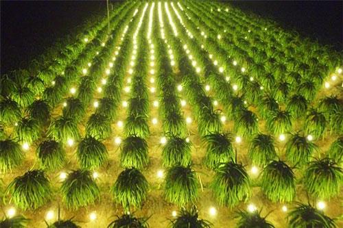 Chợ Gạo là vùng chuyên trồng thanh long