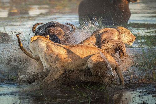 Khi đang tham quan Đồng bằng Okavango thuộc Botswana, nhiếp ảnh gia Wim van den Heever, 43 tuổi đã tình cờ ghi lại được một khoảnh khắc hiếm trong thế giới động vật hoang dã. Đó chính là cảnh trâu rừng giết chết sư tử.