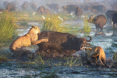 Ban đầu, chú sư tử xấu số đã cùng với một đồng loại tấn công con trâu rừng ở dưới đầm lầy.