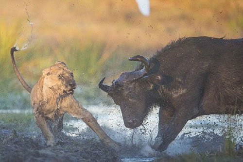 Không những vậy, chú trâu rừng còn tỏ ra cực kỳ dũng mãnh khi liên tiếp phản đòn khiến 1 trong 2 con sư tử phải bỏ chạy.