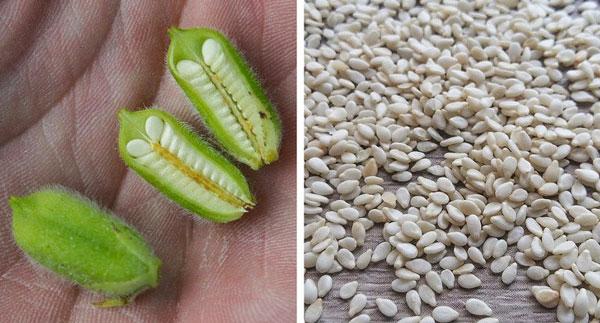 Vừng: Những hạt vừng nhỏ màu đen hoặc trắng thơm mà chúng ta thường thấy trên bánh ngọt hoặc trong các món ăn khác nhau là hạt của một loại quả. Quả vừng thường khá nhỏ, thước khoảng 3-5 cm, nhưng bên trong có thể có tới một trăm hạt vừng. Vừng phát triển ở vùng khí hậu khô, nóng, vì chúng là những cây rất chịu hạn.