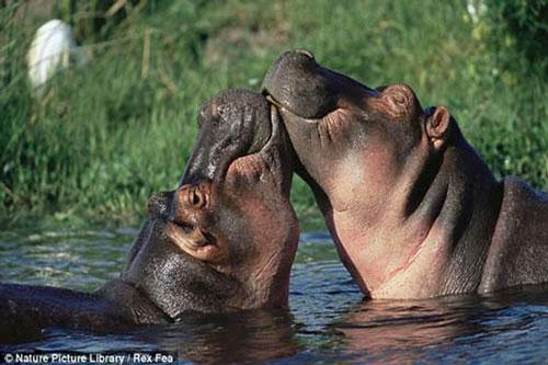 Hà mã trao nhau tình cảm qua những nụ hôn trong mùa giao phối. Khi động vật thể hiện tình cảm trông vô cùng đáng yêu.