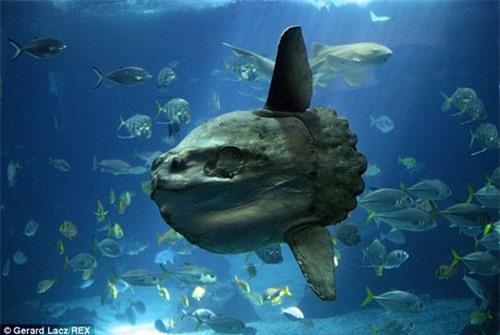 """Cá mập """"yêu tinh"""" và nỗi ác mộng của đại dương - 6"""
