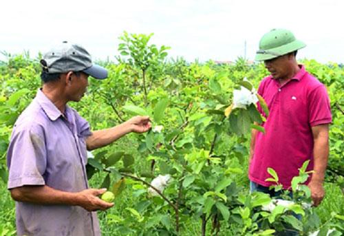 HTX trồng cây ăn quả xung quanh ao để tăng thu nhập
