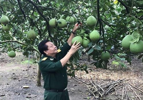 Cựu chiến bình Trần Quang Vinh vượt qua gian khó, làm giàu từ cây bưởi da xanh.