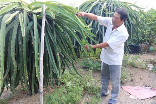 Nông dân xã Long Bình Điền, huyện Chợ Gạo tỉa cành, tạo tán cho vườn thanh long. Ảnh: Minh Trí-TTXVN