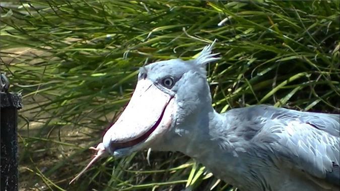 Nhung loai chim co ve ngoai la lung nhat the gioi-Hinh-9
