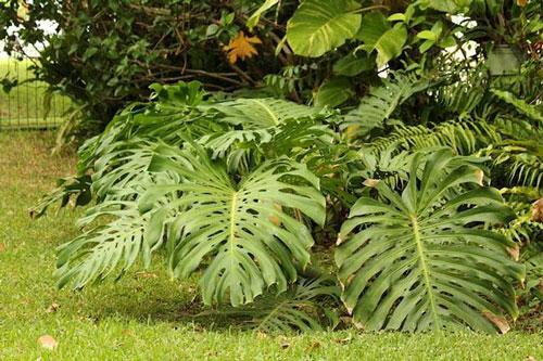 Loại quả Monstera deliciosa có nguồn gốc từ các khu rừng nhiệt đới ở Nam Mexico, Panama, sau đó được đưa sang trồng ở các nơi khác.