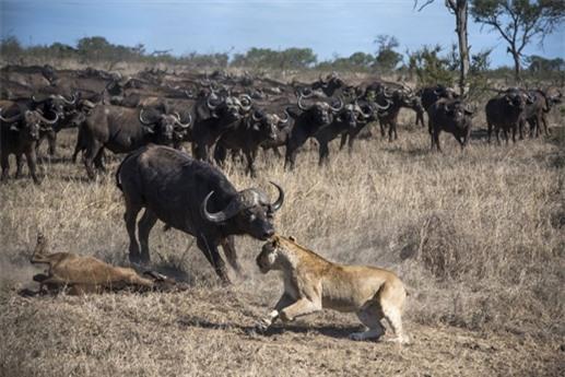 Đối đầu với đàn trâu lớn luôn là mối đe doạ tới tính mạng của sư tử, thế nhưng lần này không hiểu bằng cách nào chúng săn được trâu con.
