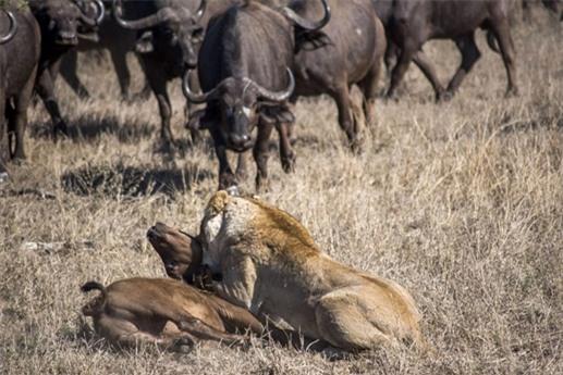 Khi chuẩn bị kết liễu con mồi thì đàn trâu kéo tới tấn công sư tử để giải cứu con non.