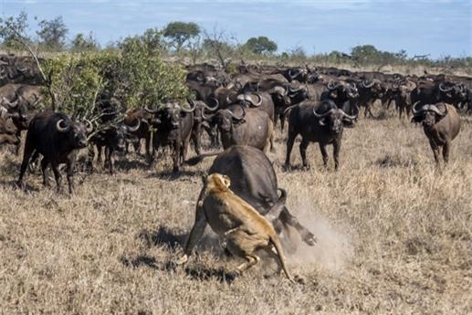 Trước sự hung dữ của đàn trâu, sư tử đành bỏ dở con mồi của mình.