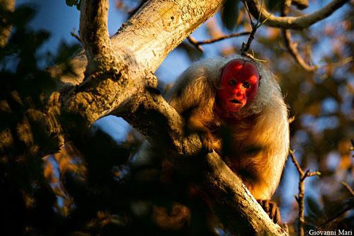 Khỉ mặt đỏ Uakari có tên khoa học là Cacajao calvus. Chúng có kích thước khoảng 45,6cm (con đực) và 44cm (con cái), trọng lượng từ 2,75kg - 3,5kg. Ảnh: wikimedia.