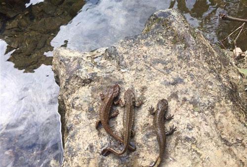 Phát hiện loài cá có chân ở Cao Bằng