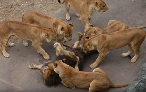 CLIP: Đàn sư tử giết chết đồng loại vô cùng tàn bạo