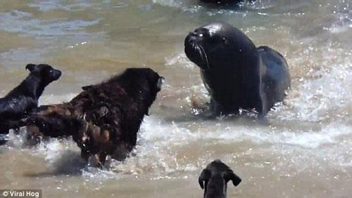Cuộc chiến căng thẳng giữa chó và sư tử biển